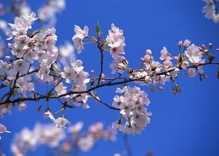 桜が使われている漢方薬 | 健康トピックス
