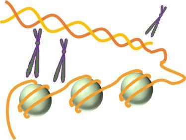 肥満を決定づける要素の7割は遺伝と言うが | 美容トピックス